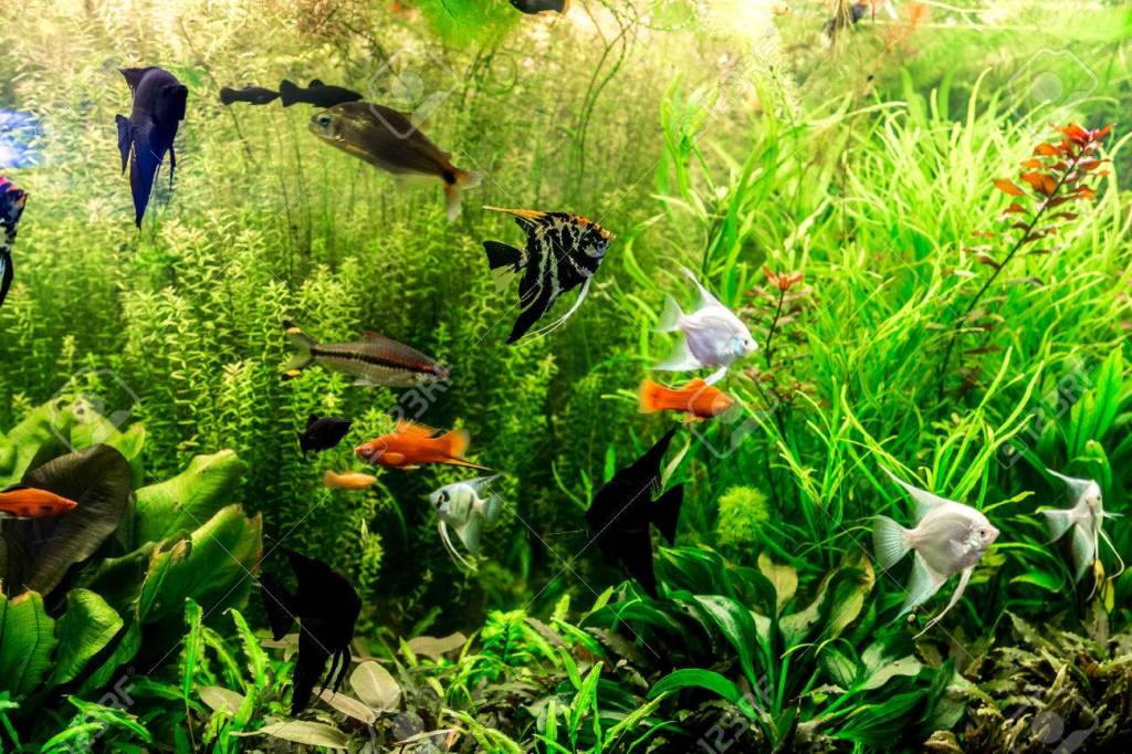 This image has an empty alt attribute; its file name is 29714584-a-green-beautiful-planted-tropical-freshwater-aquarium-with-fishes.jpg