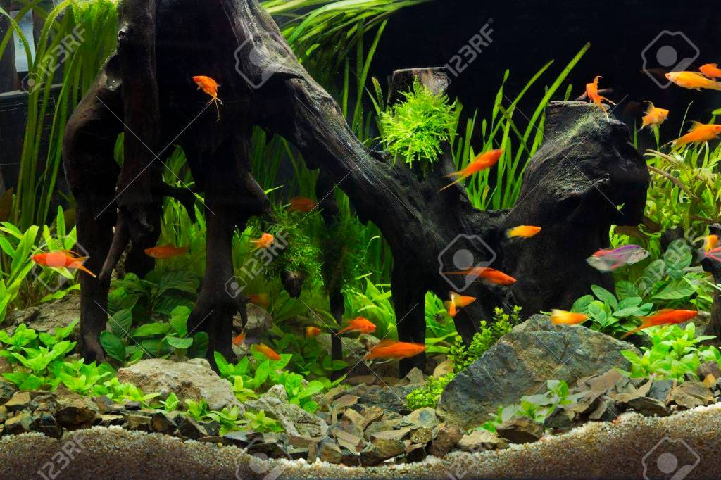 This image has an empty alt attribute; its file name is 37999893-a-green-beautiful-planted-tropical-freshwater-aquarium.jpg