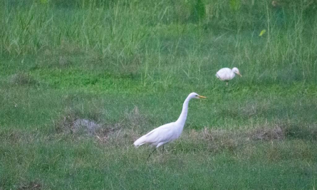 A Cattle Egret in a field