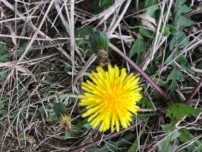 A dandelion grows at Mill Creek Middle School.