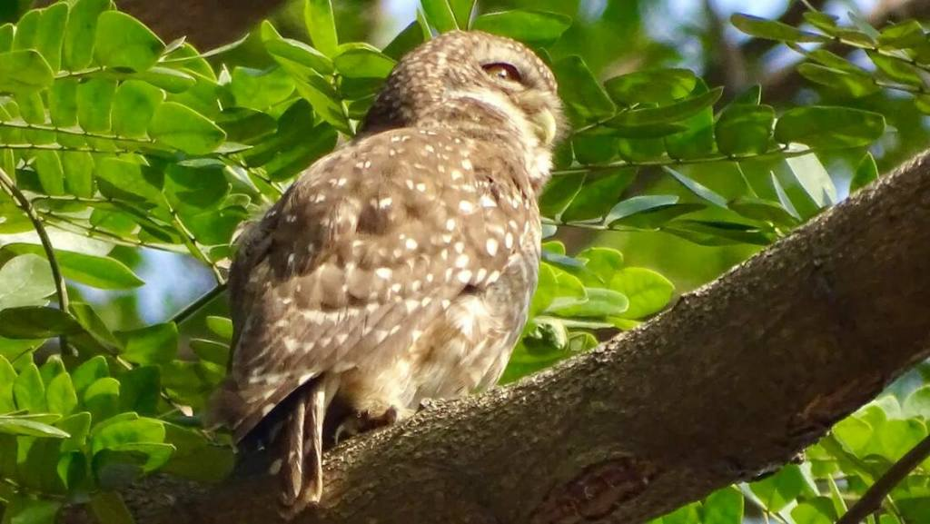 A Spotted Owlet in a tree