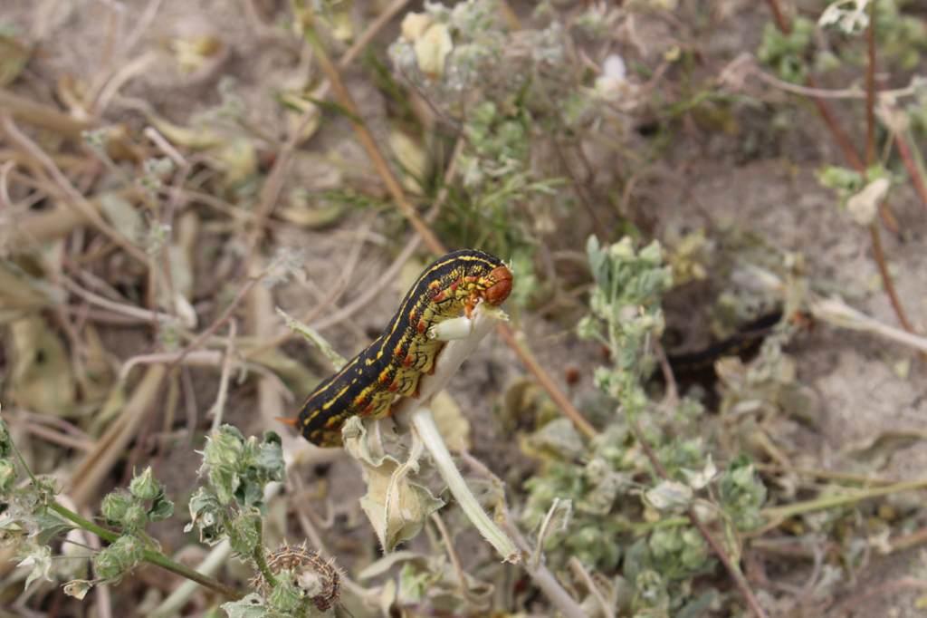 White-lined Sphinx Moth caterpillar gorging itself on the desert bloom.