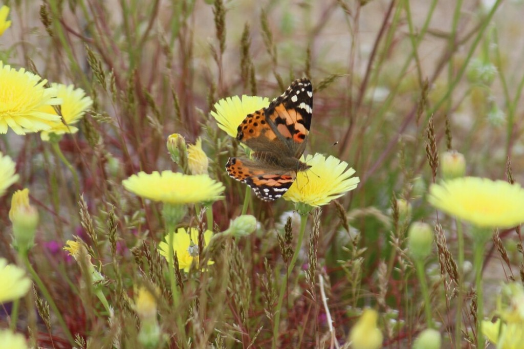 Painted Lady Butterfly feeding upon the Desert Dandelion.