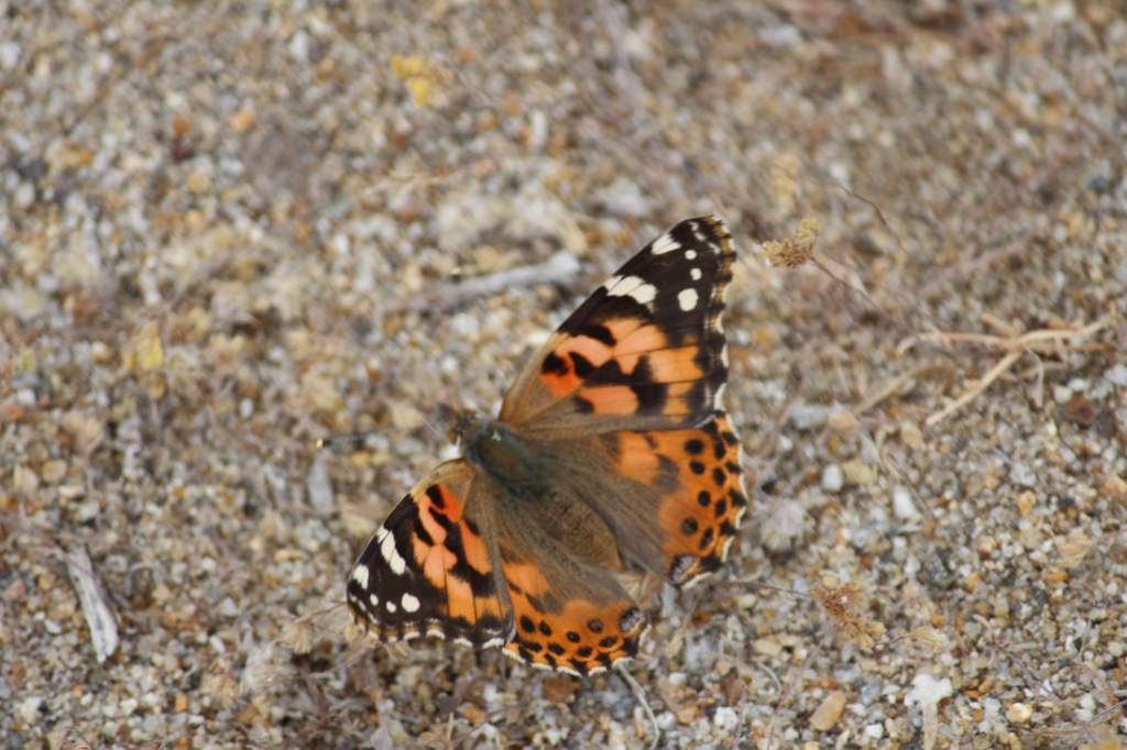 A Painted Lady Butterfly on the ground