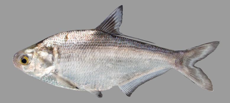 A gizzard shad, one of the species that can be found at King's Landing Park