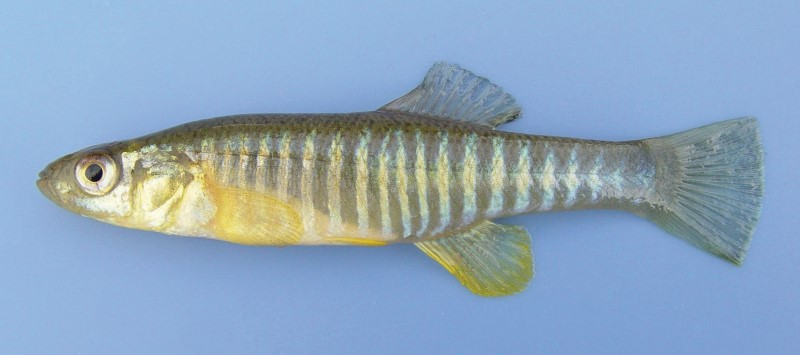 A picture of a banded killifish