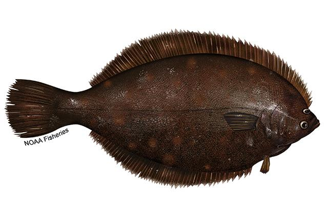 A picture of a winter flounder