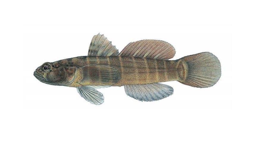 A picture of a naked goby