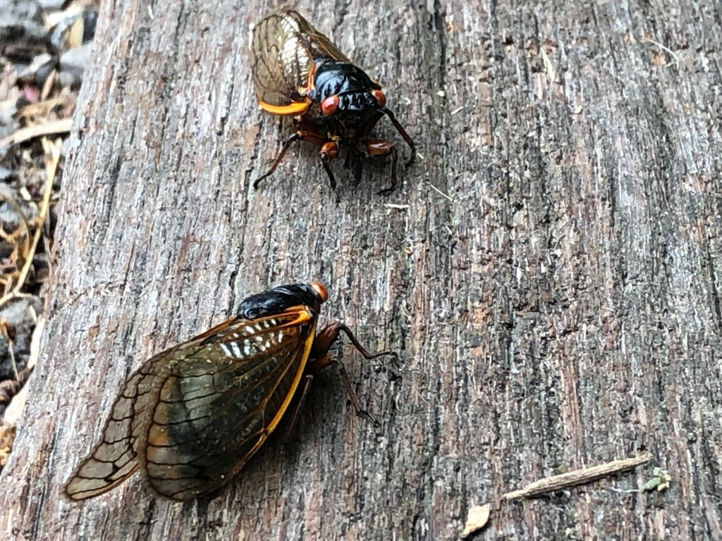 A pair of cicada insects.