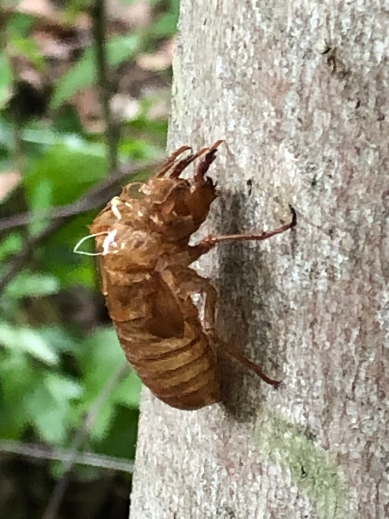 A cicada skin shed.