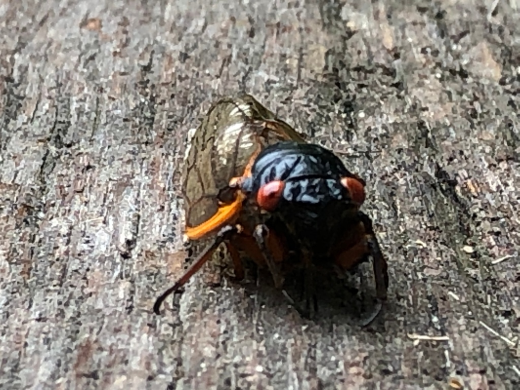 A cicada insect.