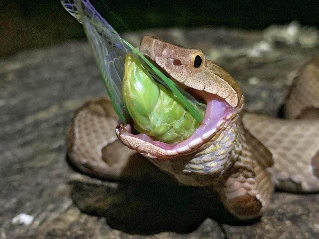 Picture of a snake eating a cicada.