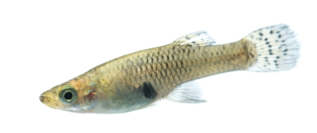 A picture of a mosquitofish