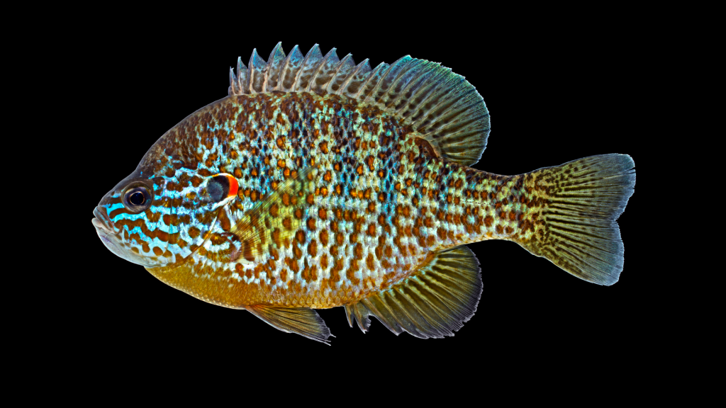 A picture of a pumpkinseed sunfish