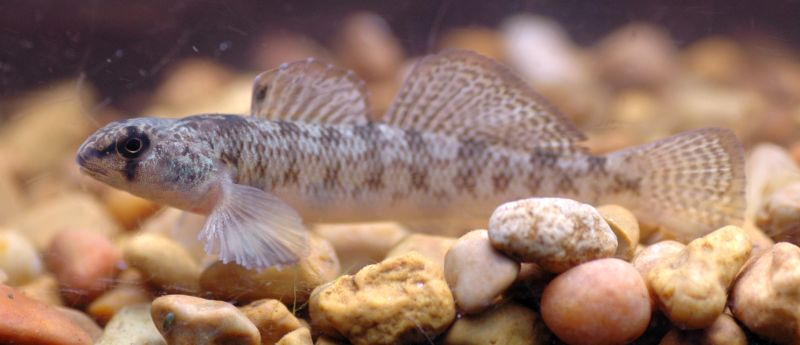 A picture of a tessellated darter