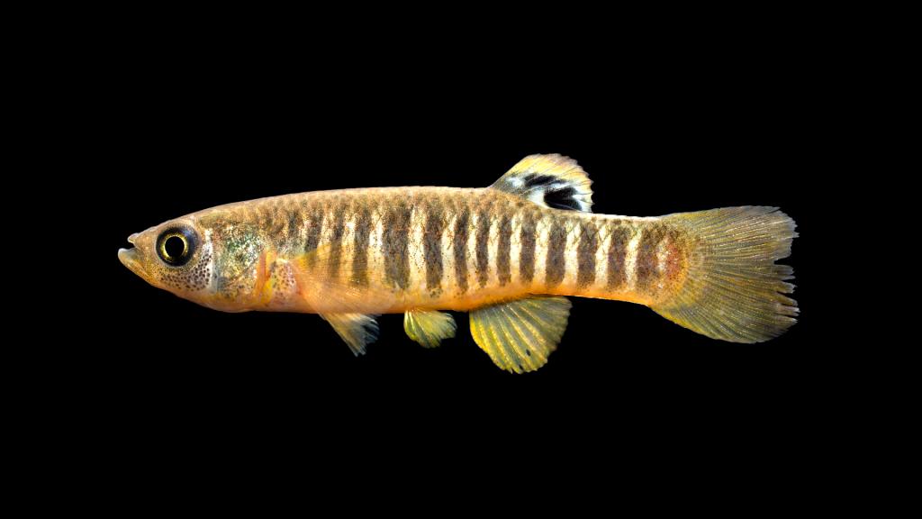 A picture of a striped killifish