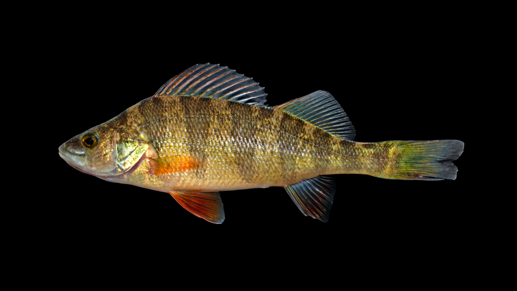 A picture of a yellow perch.