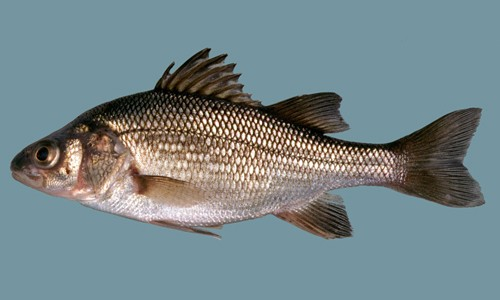 A picture of a white perch
